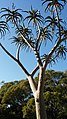 Aloidendron barberae at Kirstenbosch National Botanical Garden.jpg