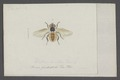 Alophora - Print - Iconographia Zoologica - Special Collections University of Amsterdam - UBAINV0274 039 06 0013.tif