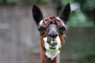 L'origine du Lama dans LAMA 320px-AlpacaCloseup