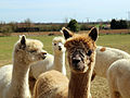 Alpaca in The Rodings, Essex, England 06.jpg