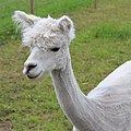 Alpakka hode.jpg