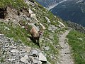 Alpine Ibex (Bouquetin) @ Path from L'Index to Col de la Gliere @ Hike to Lacs des Chéserys, Lac Blanc, Lac Cornu & Lacs Noirs @ Chamonix (15361162212).jpg