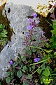 Alpine flora (Gru) (37558556952).jpg