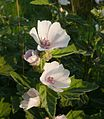 Althaea officinalis 140807a.jpg