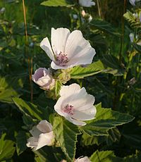 Althaea officinalis 140807a