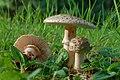 Amanita rubescens (29461459603).jpg
