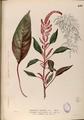 Amaranthus cruentus Blanco2.430-original.png