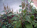 Amaranthus viridis Plant TorreLaMata.jpg