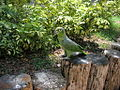Amazon parrot at Jungle Island.jpg