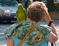 Amazona ochrocephala -pet on shoulder in New York-8a.jpg