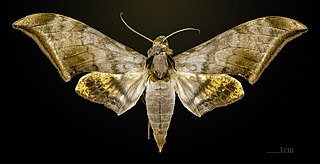 <i>Ambulyx</i> genus of insects