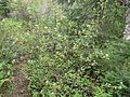 Amelanchier sp Carleton2 RT.jpg