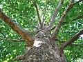 American-Sycamore-Bark.jpg