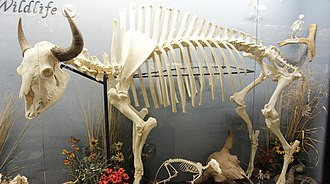 Plains bison - American bison skeleton (Museum of Osteology)
