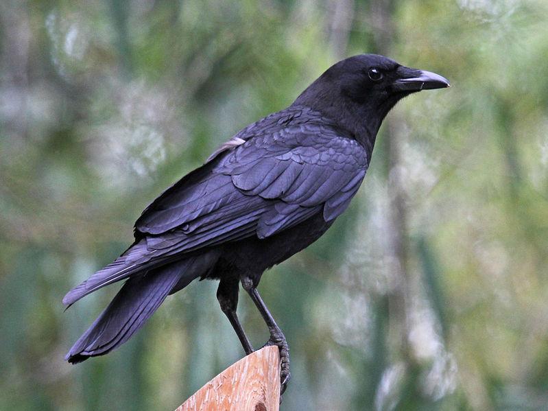 File:American Crow SanDiego RWD.jpg