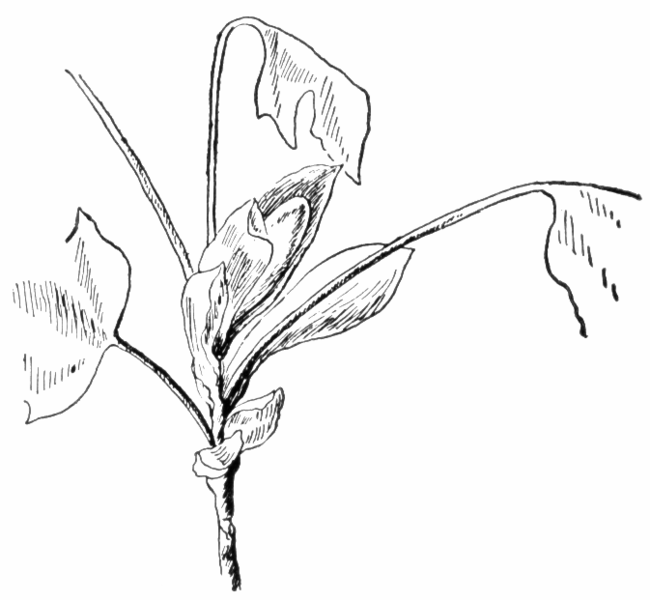 Archivo:American tuliptree unfolding leaves Keeler.png