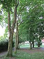 """Amerikanische Gleditschie (Gleditsia triacanthos), auch Lederhülsenbaum genannt - Grünanlage """"Botanischer Garten"""" mit wertvollem Baumbestand - Eschwege - panoramio.jpg"""