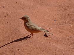 Une ammomane isabelline dans le désert, en Jordanie