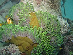 Amphiprion nigripes.JPG