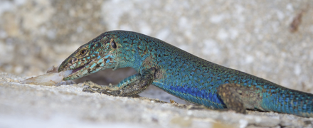 An Ibiza wall lizard (Podarcis pityusensis) scavenging on fish scraps leftover from another predator - journal.pone.0060797.g001-B