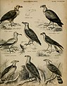 "An introduction to the natural history of birds; being the article ""Ornithology"", from the seventh edition of the Encyclopedia Britannica (1839) (14564650447).jpg"
