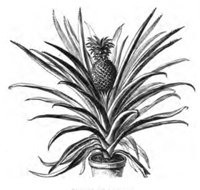 Ananas de Cayenne Vilmorin-Andrieux 1883.png