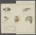 Anatifa laevis - - Print - Iconographia Zoologica - Special Collections University of Amsterdam - UBAINV0274 101 01 0009.tif