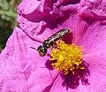 Andrenidae, probably Flavipanurgus genus. - Flickr - gailhampshire.jpg