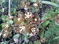 Androsace maxima sl4.jpg