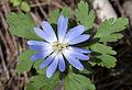 Anemone blanda - Yoğurt çiçeği 02.jpg