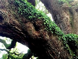 Angel Oak - Ferns and other greenery grow along the trees massive limbs