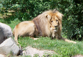 Angolalöwe Matadi - Zoo Leipzig.png