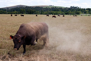 Bull - A bull paws up dust in a threat display