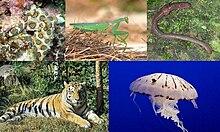 Da esquerda para a direita, de cima para baixo: Hapalochlaena lunulata (Molusco), Sphodromantis viridis (Artrópode), Lumbricus terrestris (Anelídeo), Panthera tigris (Cordado) e Chrysaora colorata (Cnidário)