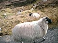 Animals-Sheep-Road-Donegal-Ireland.JPG