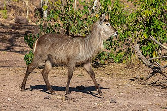 Waterbuck - Female K. e. ellipsiprymnus Chobe National Park, Botswana
