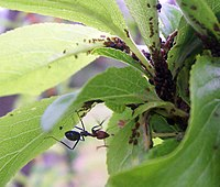 Ant cultivating aphids.jpg