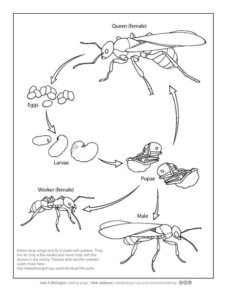 Life Cycle Coloring Pages Butterfly