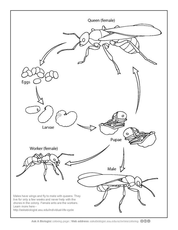 diagram of real life cycle of an ant