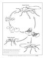 Ant life cycle coloring page.pdf