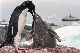 Penguin - Adélie penguin (Pygoscelis adeliae) feeding young. Like its relatives, a neatly bi-coloured species with a head marking.