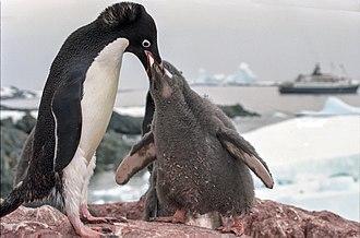 Penguin - Adélie penguin (Pygoscelis adeliae) feeding young. Like its relatives, a neatly bi-coloured species with a head marking.