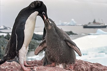 English: Antarctica, adelie penguins, feeding ...