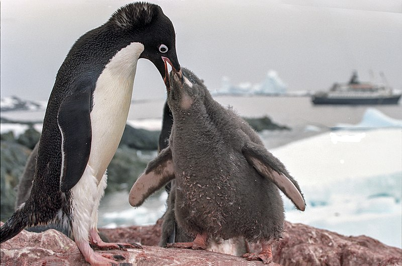 File:Antarctic adelie penguins (js) 21.jpg