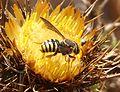 Anthidium species - Flickr - gailhampshire.jpg