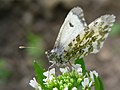 Anthocharis cardamines02.JPG