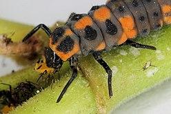 Larve grise, orange et noire mangeant un petit insecte.