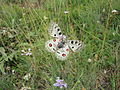 Apollo Butterfly of Gran Sasso.jpg