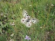 Apollo Butterfly of Gran Sasso