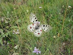 Gran Sasso e Monti della Laga National Park -  Apollo butterfly of the Gran Sasso mountain